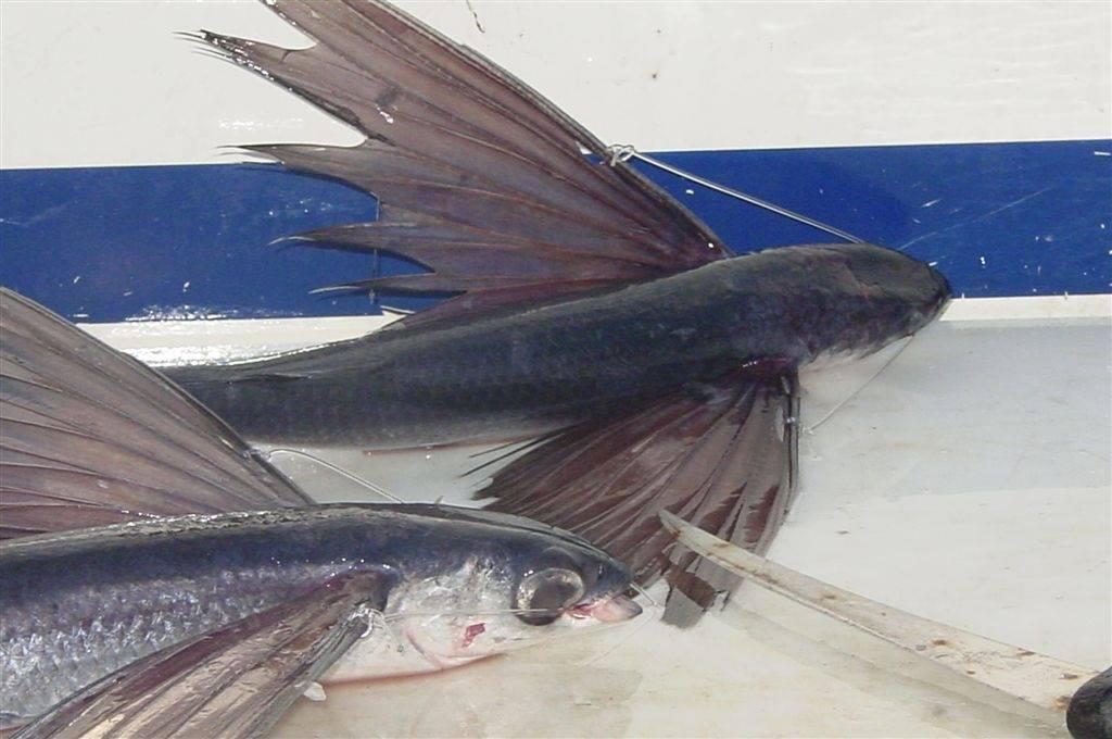 Catching Flying Fish? | Bloodydecks