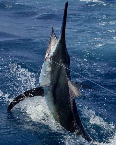 Marlin fishing in pinas bay panama photos saltwater for Deep sea fishing houston