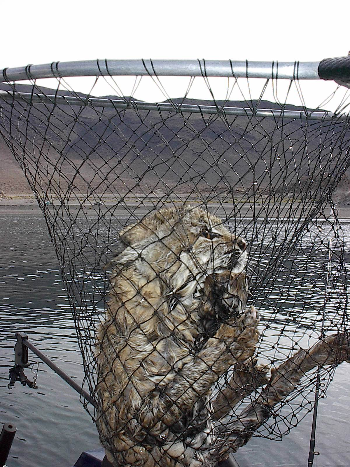 Bobcat bloodydecks for Pyramid lake ca fishing report