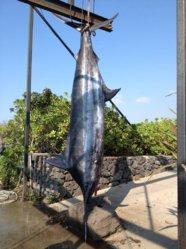 867.5 Marlin.JPG