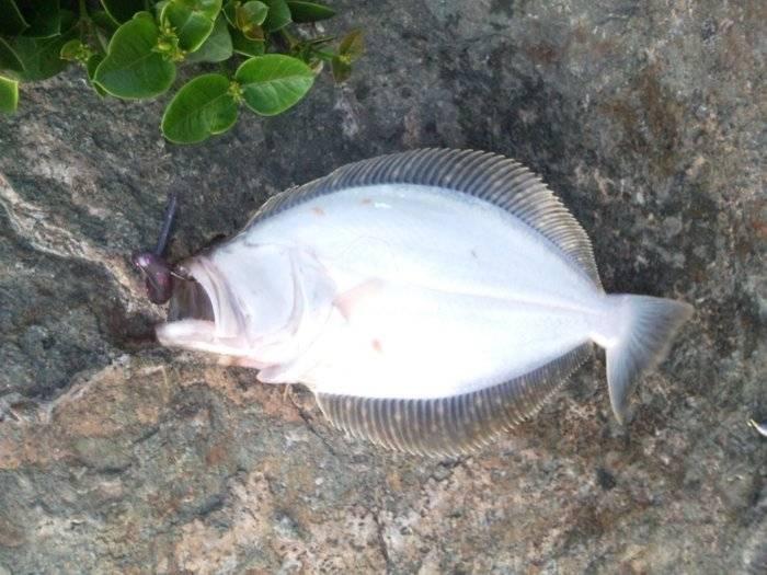 halibut on violet 3.JPG