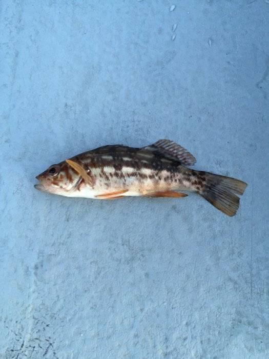 San francisco bay calico bass bloodydecks for Calico bass fishing