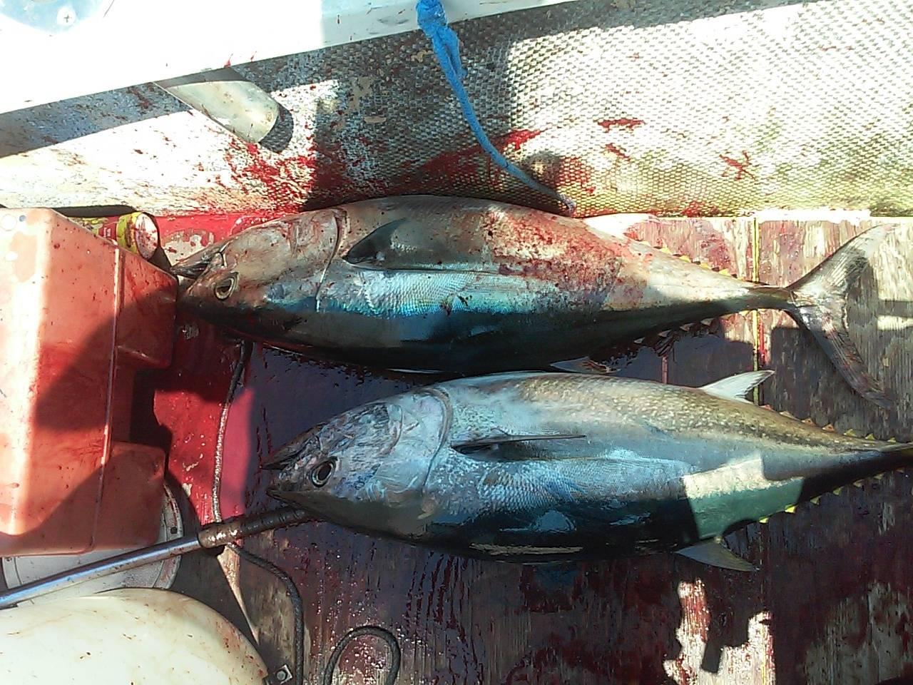 Bluefin off la jolla saltwater fishing forums for La jolla fishing