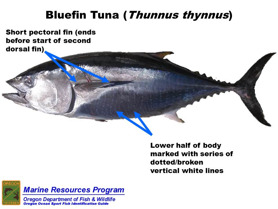 Big eye tuna page 2 saltwater fishing forums for Do fish have livers