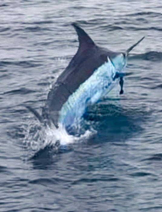 blue marlin.jpeg